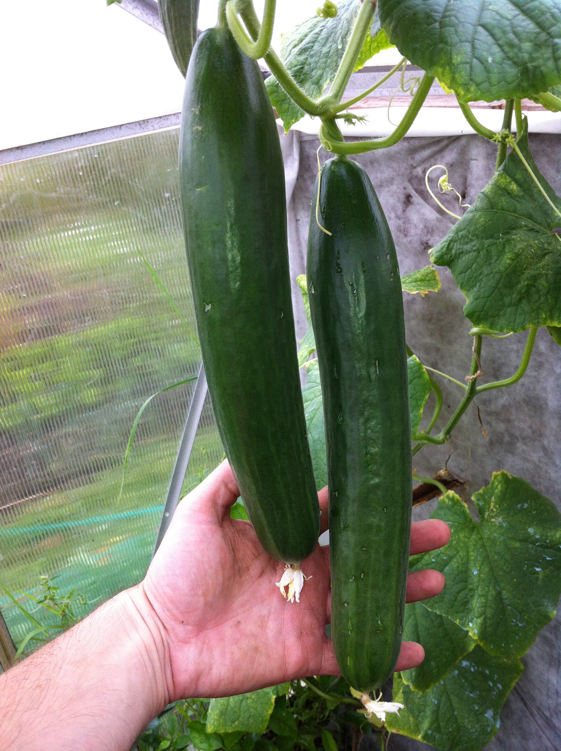 How long does it take for cucumbers to mature #5