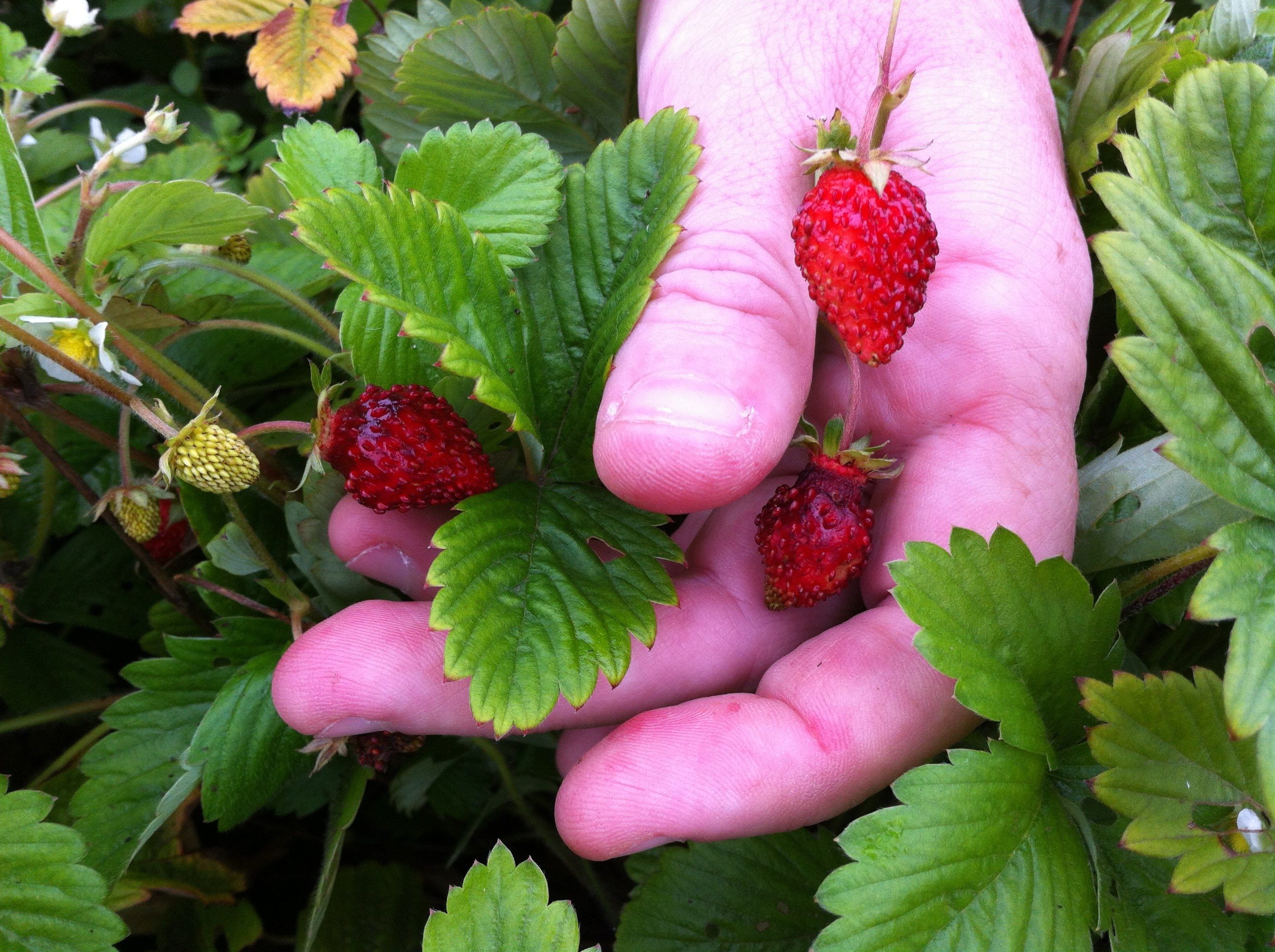 Growing Alpine Strawberries for Your-Round Fruit